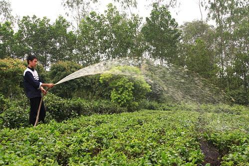 Spraying slurry on tea, Soc Son Province
