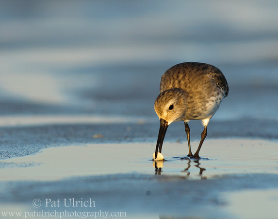 A dunlin pulls a small clam from the sand at Parker River National Wildlife Refuge