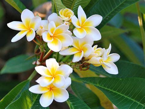plumeria flowers  yellow white hips hawai tropical
