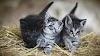 Un gen determina el color de los gatos