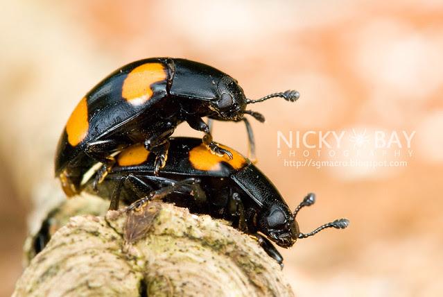 Fungus Beetles - DSC_9466