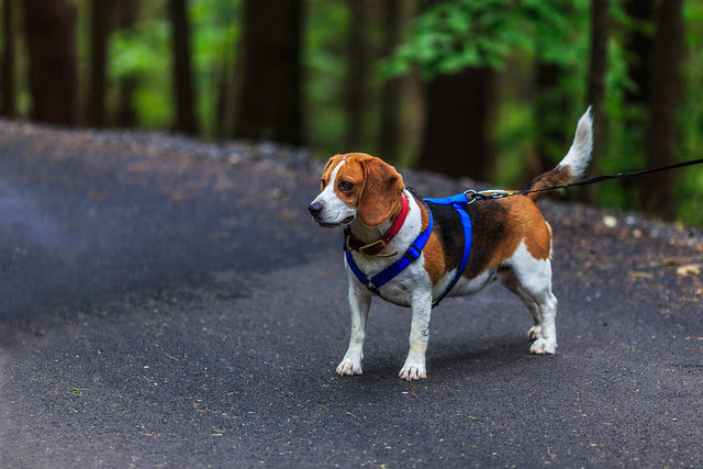 Beagle at Moreau Lake State Park