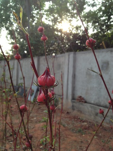 Roselle fruits on a branch