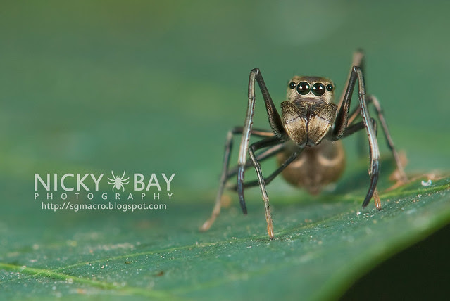 Ant-Mimic Jumping Spider (Salticidae) - DSC_6878