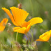 CaliforniaOrangePoppies-3424
