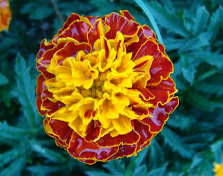 Raindrops on French marigold