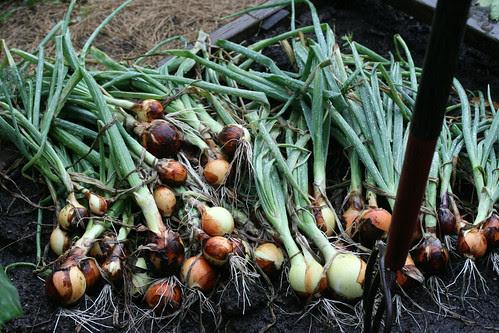 onion harvest 042