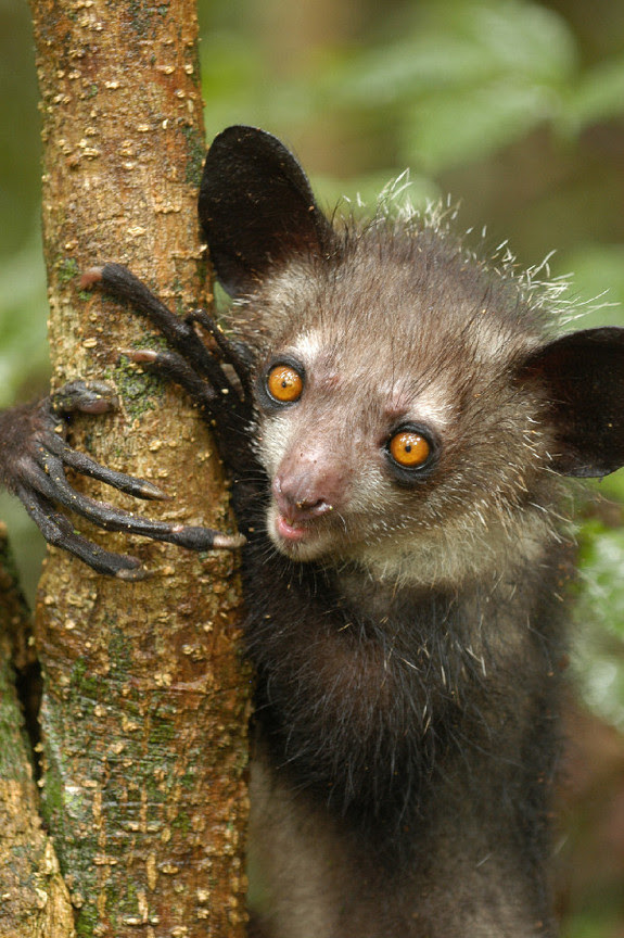 5 Surprising Facts About the Creepy-Cute Aye-Aye