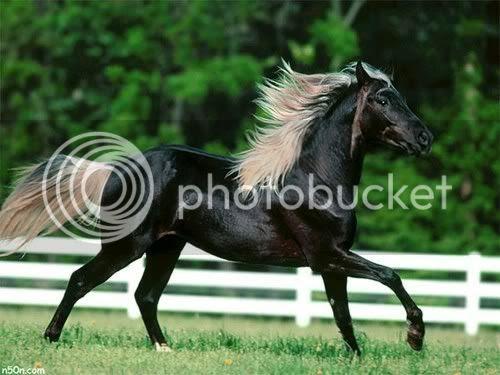 صور حصان اسود