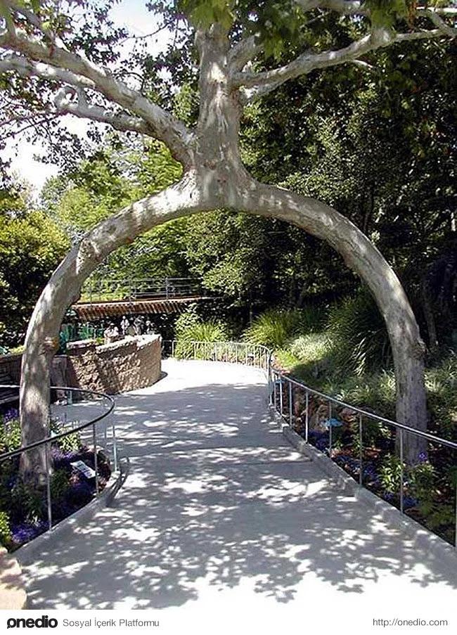 Ağaçları hemen hemen her şekilde büyütebilirsiniz.