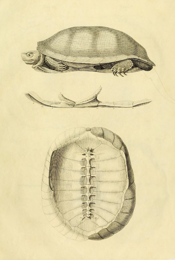 Anatome testudinis Europaeae 1