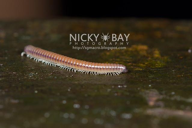 Millipede (Diplopoda) - DSC_6185