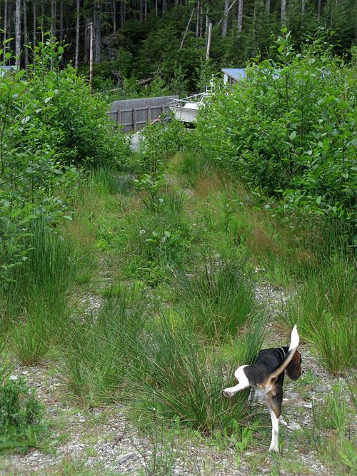 local dog has to go, Kasaan, Alaska