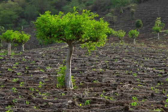 Árvores de moringa  (Foto: © Haroldo Castro/Época)