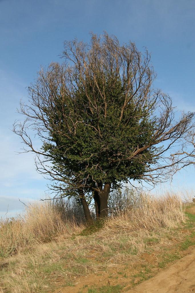 Lazarus Tree