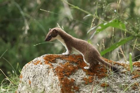 File:Stoat   Jispa, Himachal Pradesh (13197500643)   Wikimedia Commons