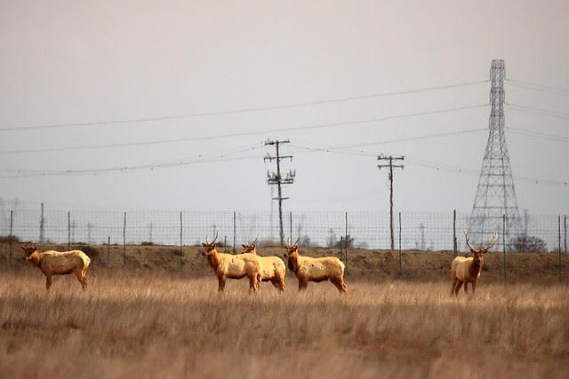 IMG_5781 Tule Elk State Reserve