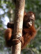 Orangutan baby in tree