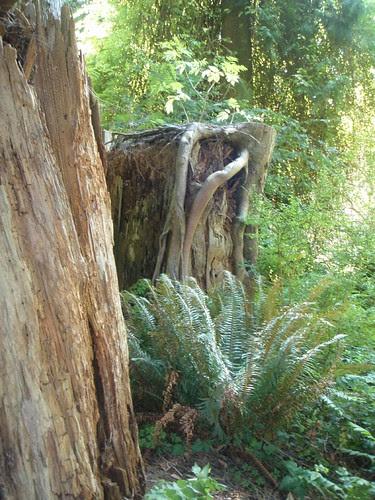 twisty roots on nurse log stump