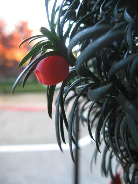 shrubfruit