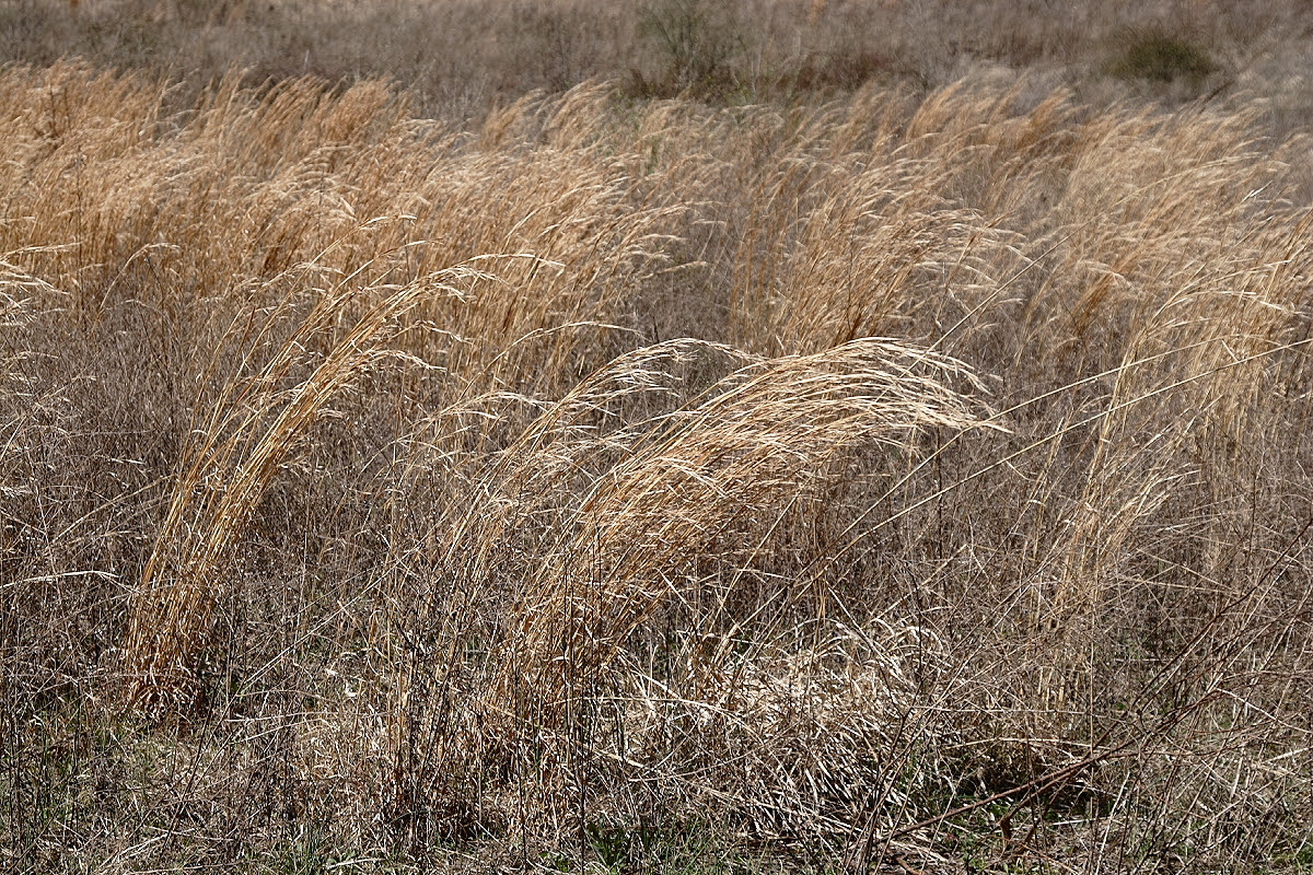 http://upload.wikimedia.org/wikipedia/commons/4/4e/Prairie_grass.JPG