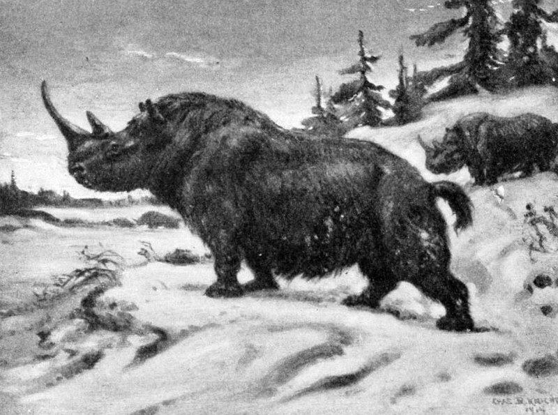 File:Wooly rhinoceros.jpg
