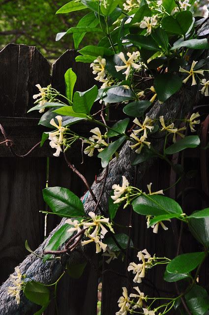 Trachelospermum jasminoides