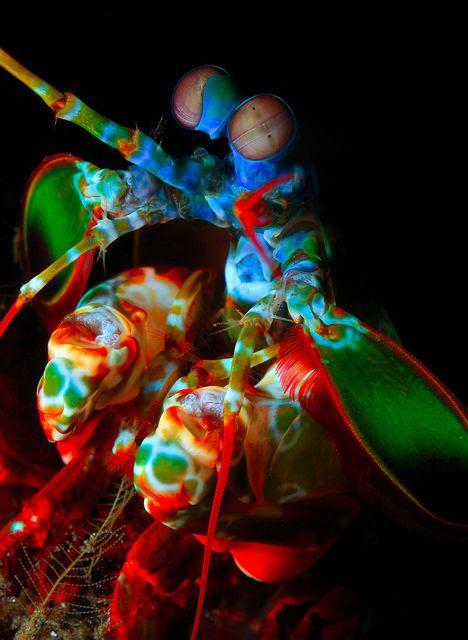 Mantis Shrimp #colorful