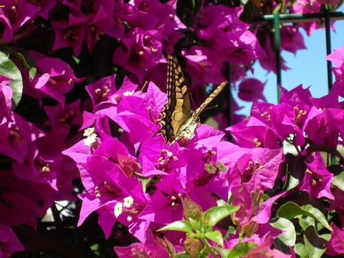 Farfalla ponzese:in attesa della primavera by via_parata