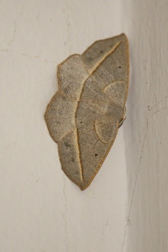 Curved-toothed geometer moth  1