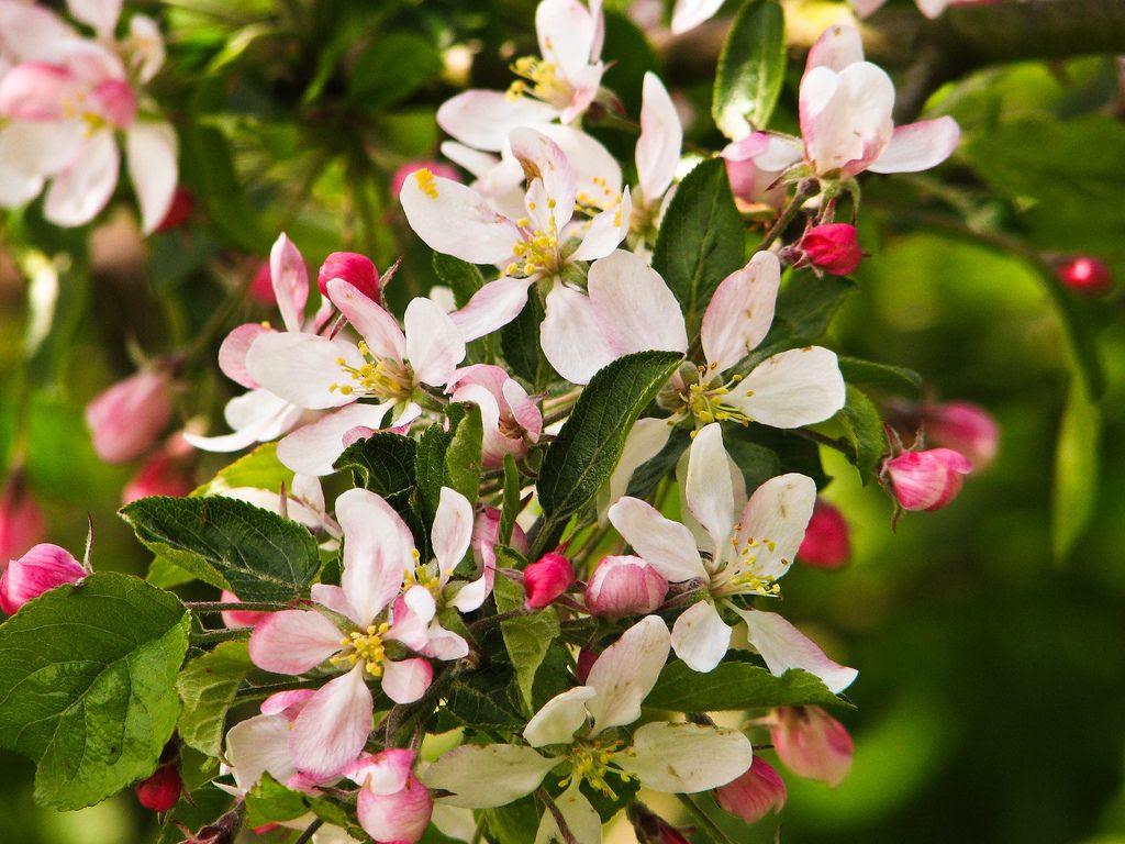 blossom,spring