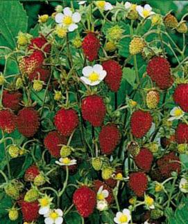 """Fragaria vesca 'Improved Rugen' """"Alpine Strawberry"""""""
