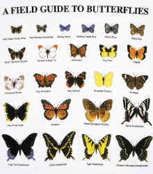 Butterfly Identification Guide By Color