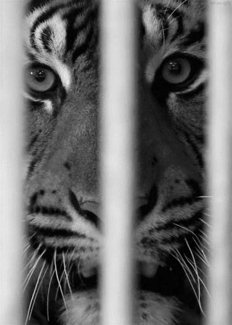 animasi harimau bergerak alamendahs blog