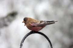 Brown-capped Rosy Finch (Leucosticte australis)