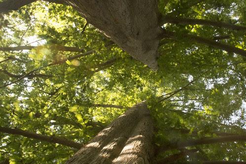 Twin Dawn Redwoods II by bahayla