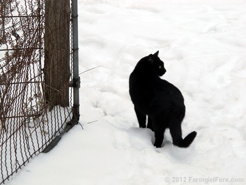 Mr. Midnight in the snow - FarmgirlFare.com