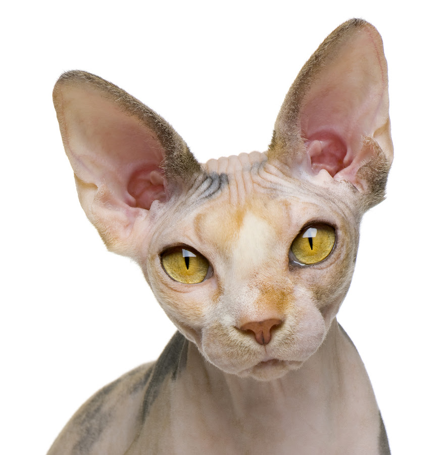 About The Sphynx Cat Cat Breeds Catloversdiary Com
