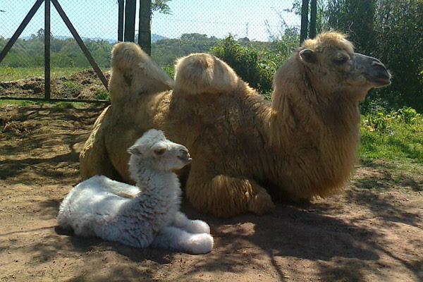 Filhote fêmea de camelo nasceu neste verão no Pampas Safari (Foto: Anelise Febernati/Pampas Safari/divulgação)