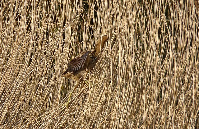 25736 - Bittern, Forest Farm