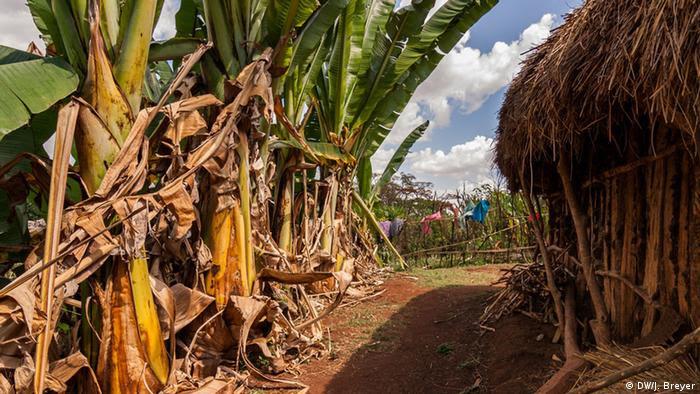 Enset plants grow next to a house in Ethiopia.