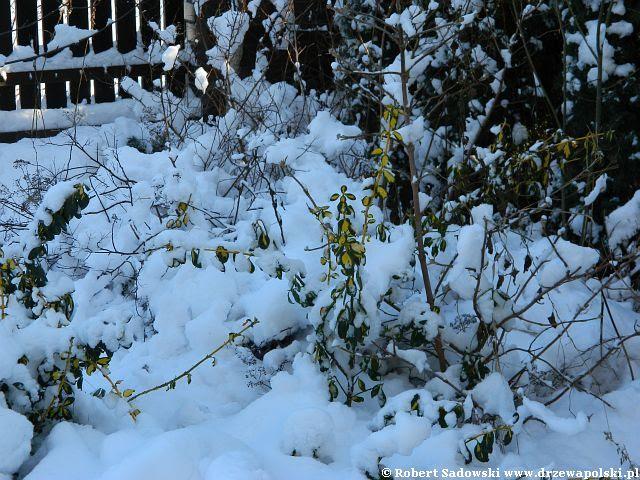 Ogród po śnieżycy