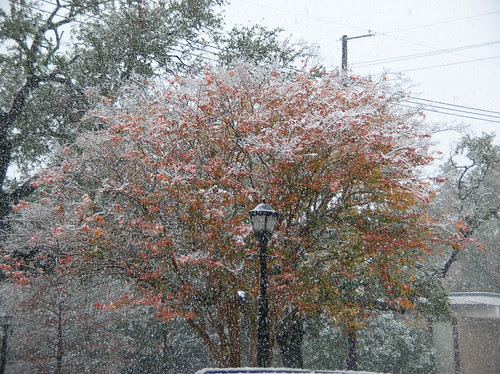 Snow on the crepe myrtles