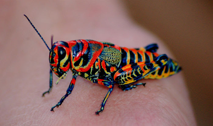 Rainbow Cricket