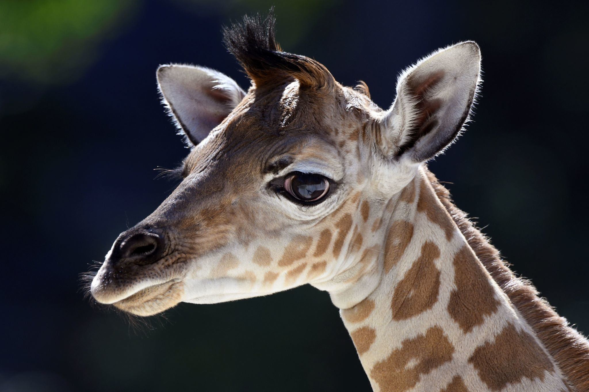 Image result for baby giraffe escapes from zoo oregon