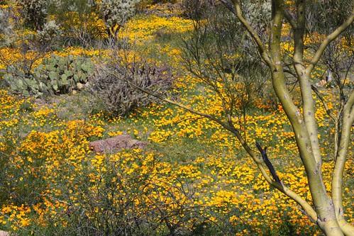 Carpet of Wild Poppies