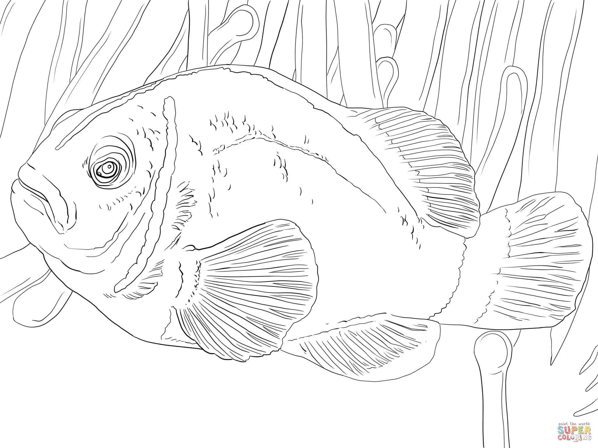 Bella Disegno Da Colorare Pesce Pagliaccio Migliori Pagine Da