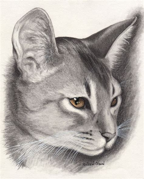 beautiful abyssinian cat drawing pictures  cats