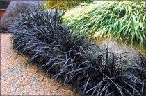 Ophiopogon planiscapus 'Nigrescens' - Black Mondo Grass