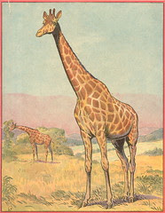 buff girafe